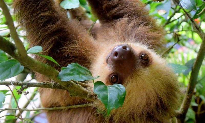 Bicho-preguiça vive até 30 anos na natureza, mas no máximo um ano em cativeiro, devido a maus-tratos, isolamento e estresse por causa de turistas - Crédito: Pixabay