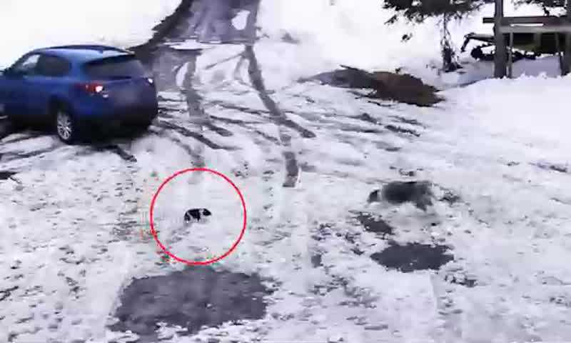 Vídeo: cachorro salva outro cão de atropelamento no Canadá
