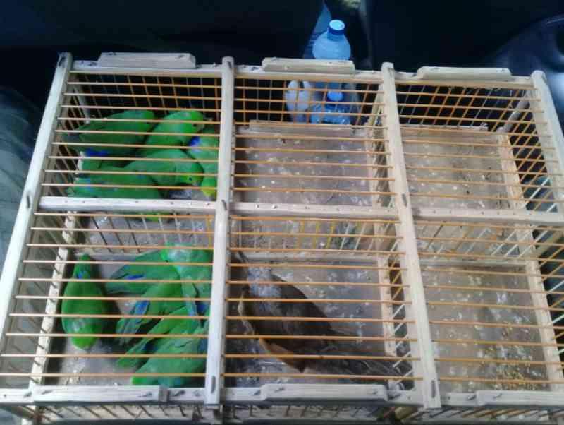 Operação apreende 96 seis pássaros silvestres em feira de Fortaleza, CE