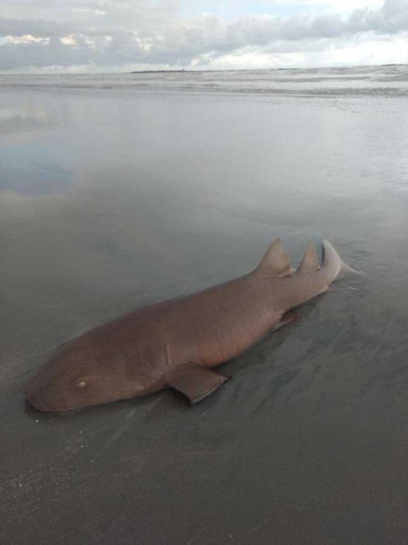 Turista relata ter encontrado tubarão encalhado em Canoa Quebrada, no Ceará