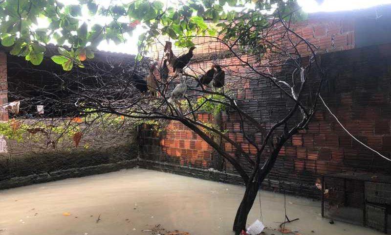 Tutor de galinhas não tem onde alojar os bichos que estão há 11 horas em árvore do quintal alagado — Foto: Marina Alves/Sistema Verdes Mares