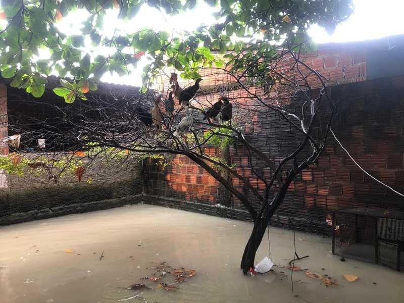 Com quintais alagados em Caucaia, filhotes de suíno morrem e galinhas estão sobre árvore desde 1h da madrugada
