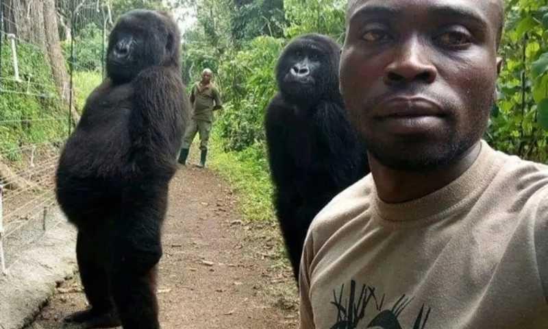 Gorilas posam ao lado de guarda florestal em parque nacional no Congo.