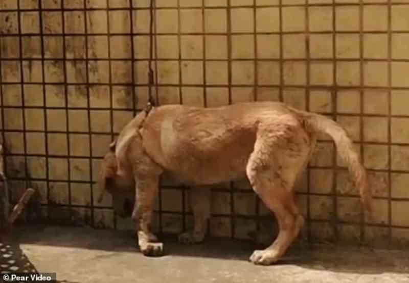Horrível! Cão é pendurado pelo pescoço para fora da janela como punição