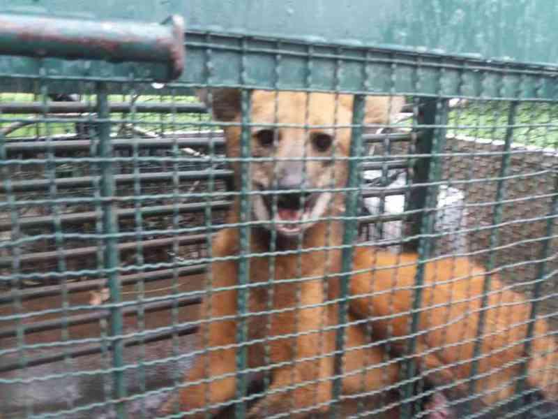 VÍDEO: lobo-guará dá trabalho durante resgate em Ceilândia, DF