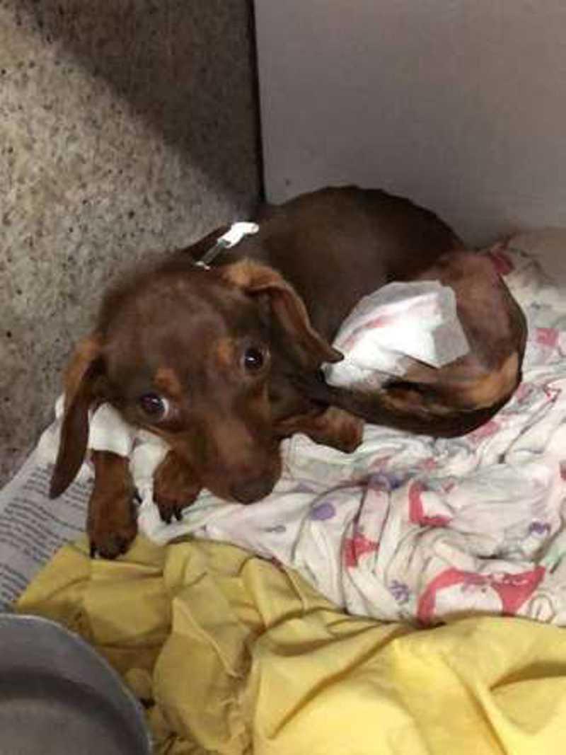 Cadela arremessada do 3° andar em Ceilândia (DF) se recupera de cirurgia