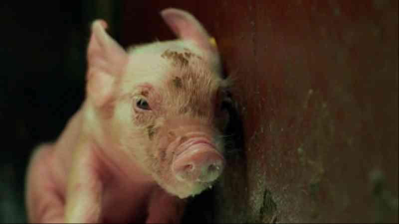 Documentário retrata os seis meses de vida e a agonia dos porcos de criação