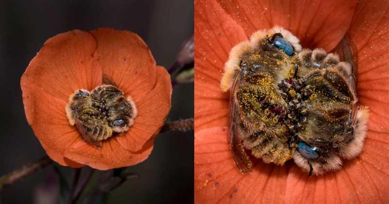Abelhas dormem abraçadas no centro de uma flor e o registro encanta o mundo