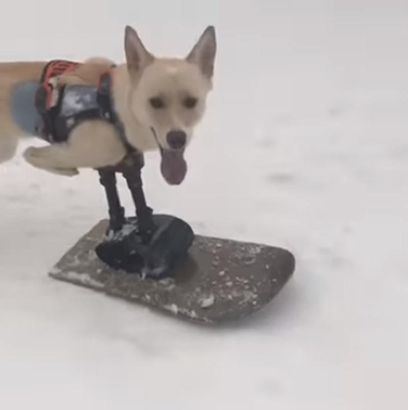 Cachorro ganha prótese adaptada em snowboard para brincar na neve nos EUA
