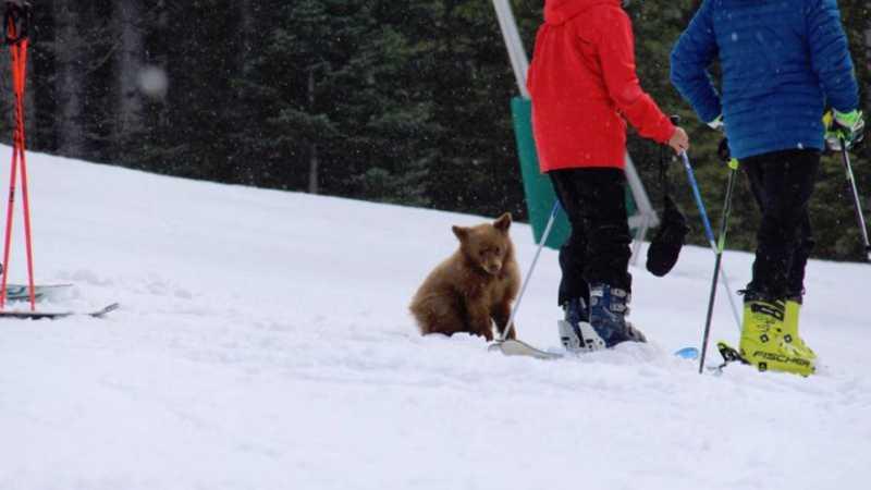 Urso bebé órfão pode ser abatido por ser 'demasiado amigável' com grupo de esquiadores