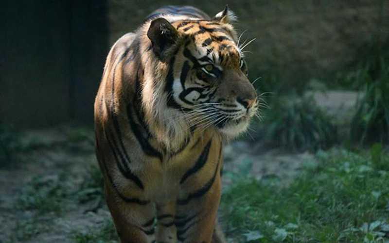 Tigre ataca tratadora em zoológico nos Estados Unidos