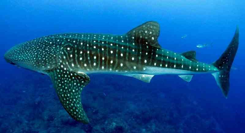 Tubarão-baleia encalha em praia do Equador e pescadores o devolvem ao mar; vídeo