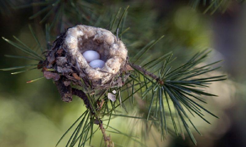 Especialistas imploram aos jardineiros que procurem por ovos de beija-flor antes da poda