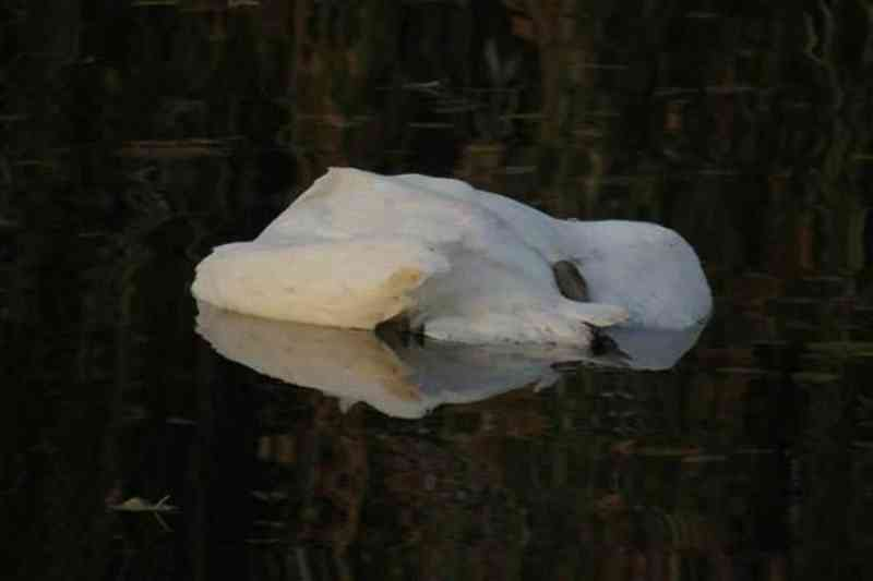 Trinta cisnes encontrados mortos por causa do pão jogado por turistas