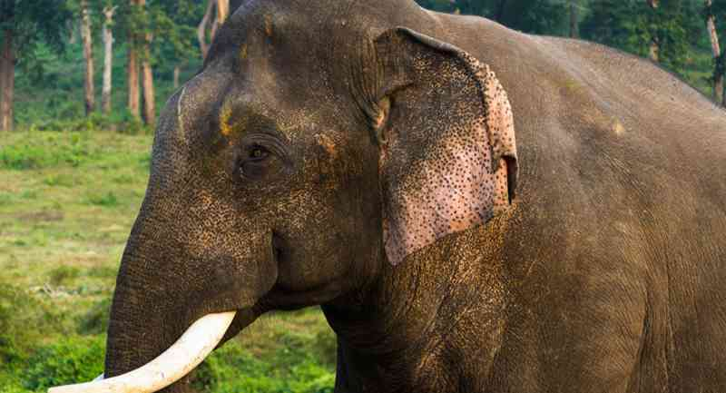 Elefante com fome pisoteia domador até matá-lo na Índia