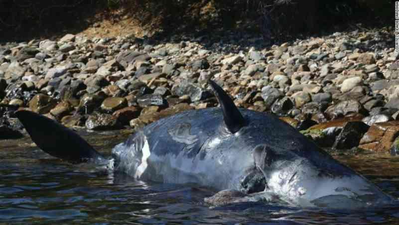 Outro caso: baleia grávida é encontrada morta com 22 kg de plástico no estômago