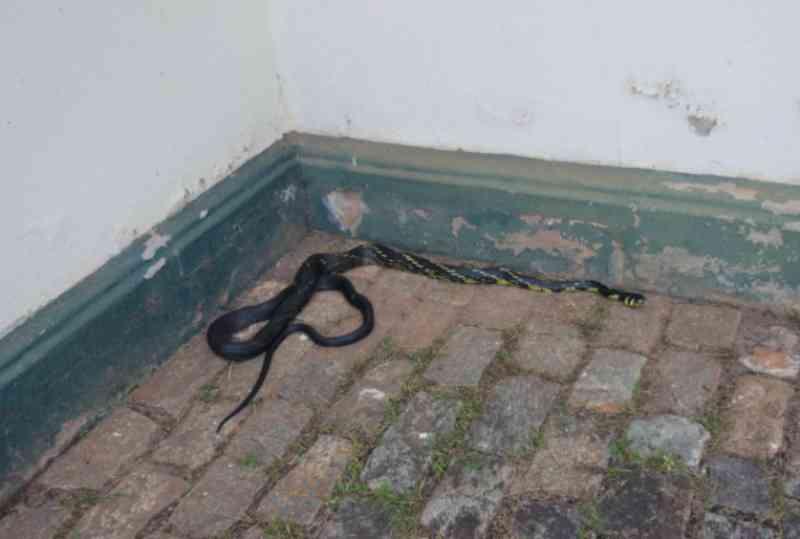 Cobra com mais de 2 metros é encontrada em escritório de mineradora, em Nova Lima, Belo Horizonte, MG
