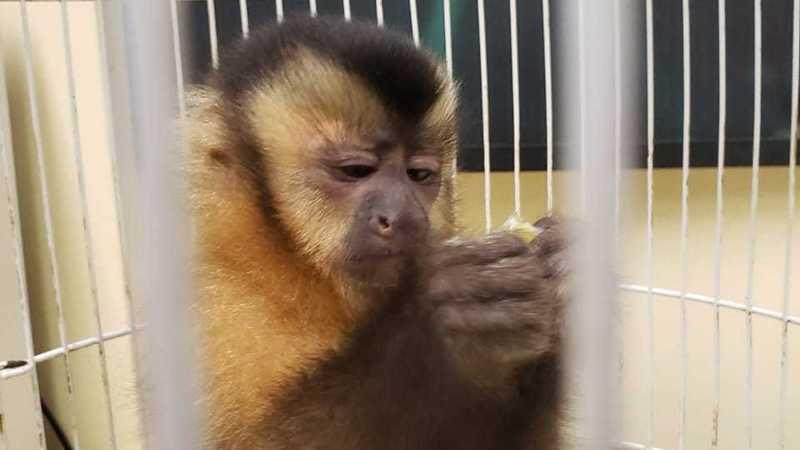 PF resgata filhote de macaco-prego mantido em cativeiro em BH — Foto: Polícia Federal/Divulgação