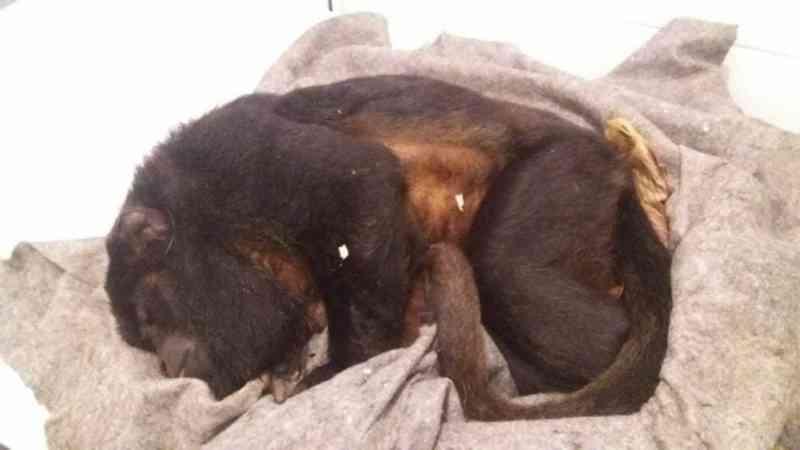 Macaco é atropelado e policiais tentam salvá-lo com orientações de veterinário, mas ele não resiste