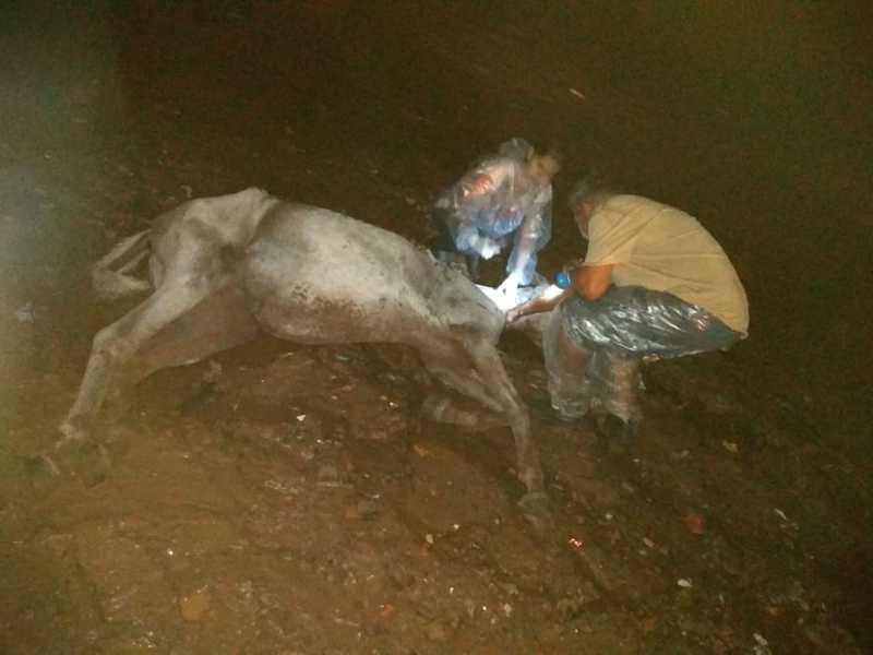 Revoltante: cavalo doente é abandonado pelo tutor e tem de ser sacrificado