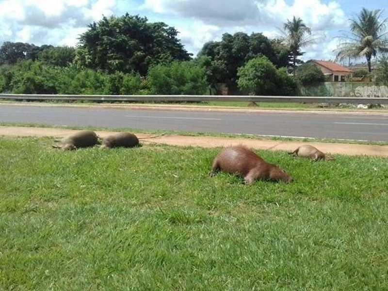 Quatro capivaras são atropeladas na Avenida Lúdio Martins Coelho, em Campo Grande, MS