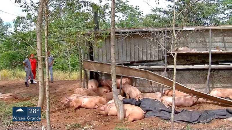 Carreta com 250 porcos tombou em Tangará da Serra — Foto: TV Centro América