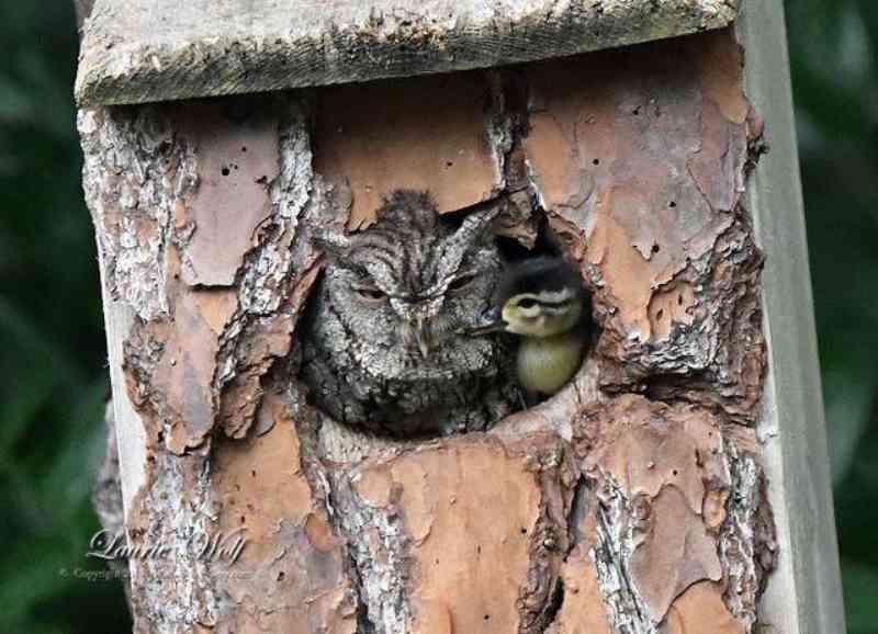 Uma 'mãe' improvável cuida de um ovo de pata até o patinho eclodir em segurança