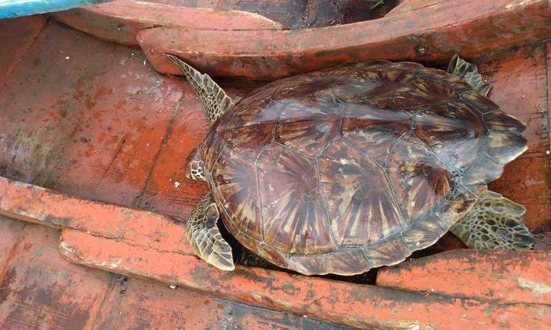 Duas tartarugas marinhas foram resgatadas neste domingo (31), no nordeste do Pará. — Foto: Divulgação / UFPA