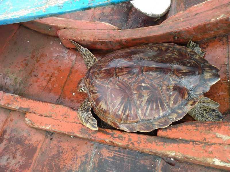 Tartarugas-marinhas são resgatadas em comunidade de Curuçá, no PA