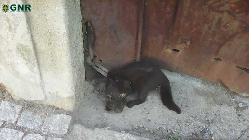 Homem de 73 anos foi identificado pela GNR devido à prática do crime de maus tratos a animal de companhia. (GNR)