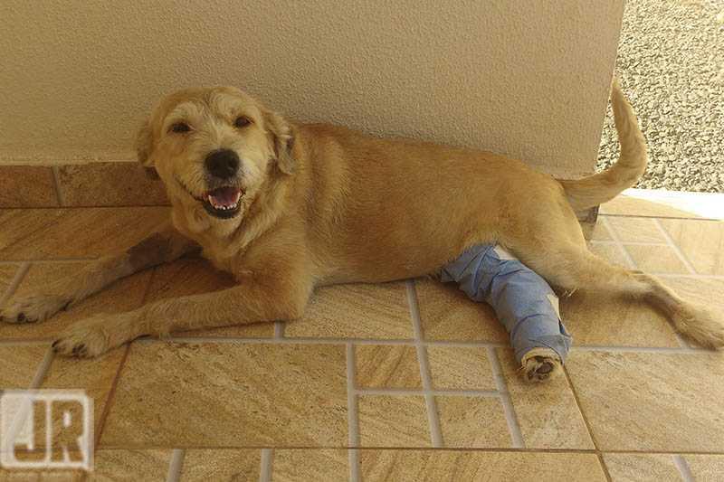 Cachorra comunitária foi atropelada e teve a perna quebrada, em Londrina, PR; atropelador ajudou com menos de 10% do gasto com o animal