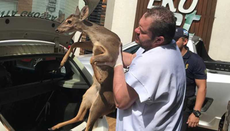 Guarda Municipal socorre cervo ferido em rodovia, em Ponta Grossa, PR