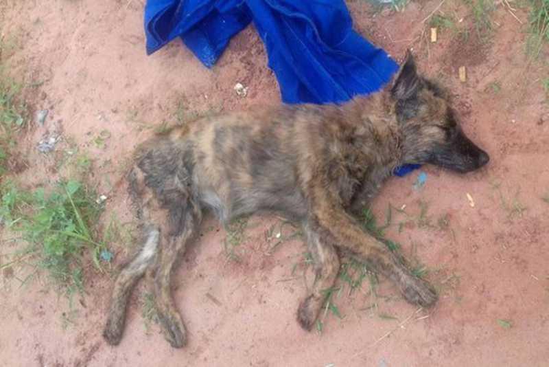 Morte de cadela após suspeita de estupro causa revolta no distrito de Lovat, em Umuarama, PR