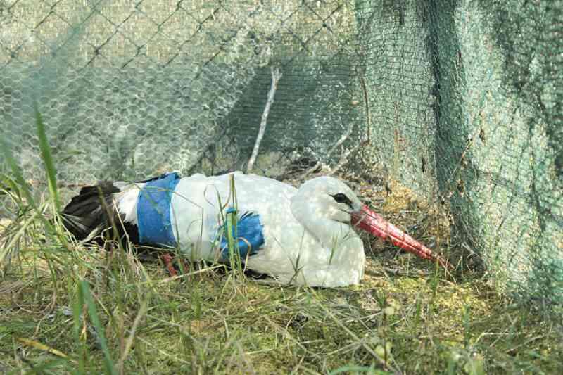 Cegonha ferida com 10 chumbos de caçadeira no Algarve, Portugal