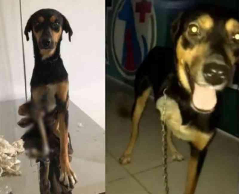 Cadela vítima de maus-tratos e socorrida por protetora de Cabo Frio (RJ) recebe alta