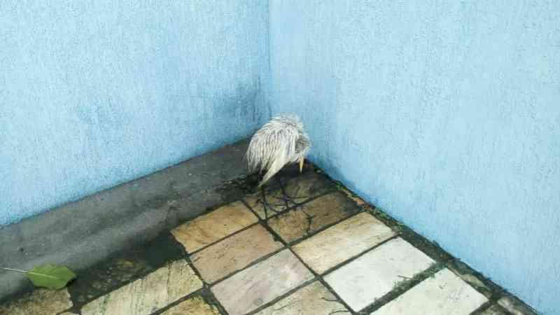 Garça encontrada suja de óleo em Cabo Frio, RJ, morre durante tratamento