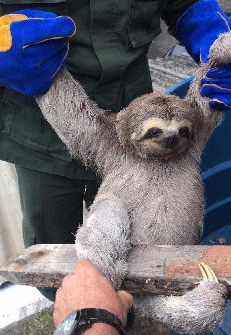 Bicho-preguiça é resgatado de caixa d'água em Niterói, RJ