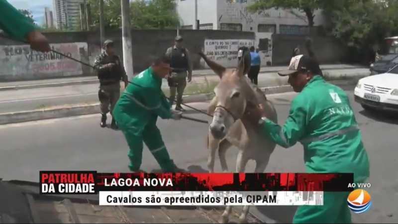 Animais estavam com ferimentos na cabeça e no pescoço devido ao carregamento de cargas com peso excessivo. Eles foram levados para o Curral Municipal e receberão cuidados
