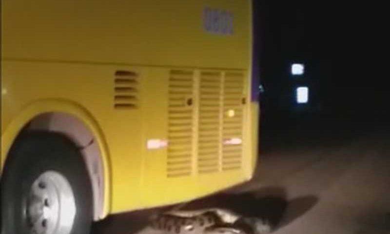 Ônibus passou duas vezes por cima de cobra em RO — Foto: Reprodução