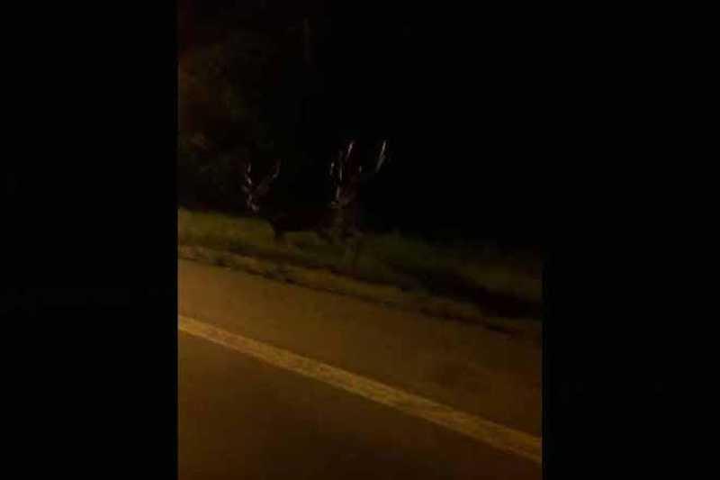 Cervos são avistados nas ruas de Gravataí, RS