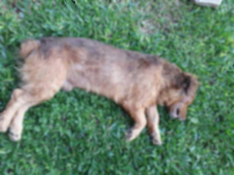 Cachorro é encontrado morto com suspeita de envenenamento em Passo Fundo, RS