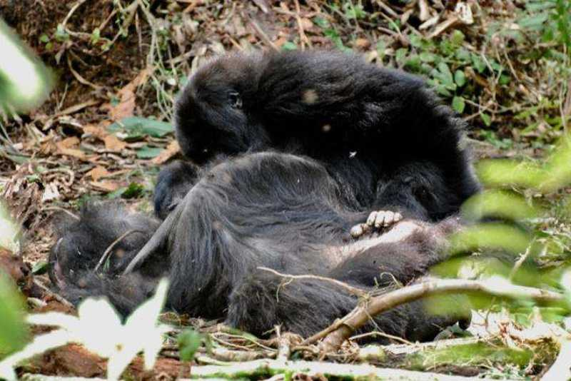 Fotógrafo registra luto entre gorilas após a morte de membros do bando