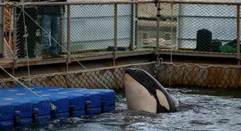 Rússia libertará quase cem baleias e orcas mantidas em 'prisão'