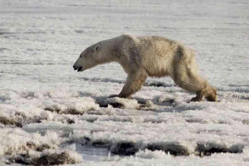 Urso-polar exausto de viajar em busca de comida, encontrado em vilarejo na Rússia