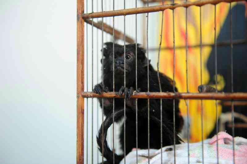 Bióloga vai abrigar macaco abandonado em unidade dos bombeiros de Joinville, SC