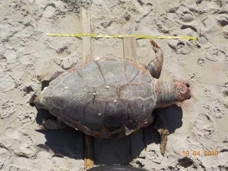 Tartaruga é encontrada morta em praia de Florianópolis
