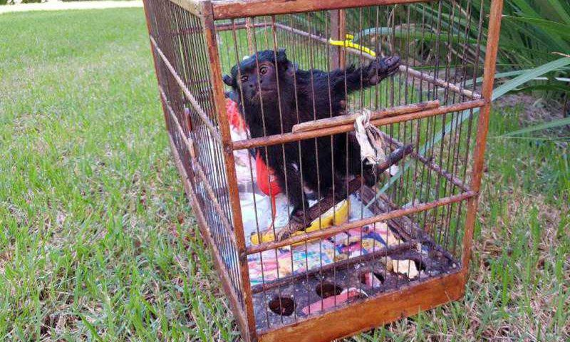 Primata é comum nas áreas de mata dentro da região urbana de Joinville(Foto: Corpo de Bombeiros Voluntários de Joinville, Divulgação)