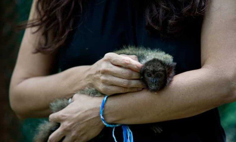 Governo e pesquisadores iniciam a reintrodução de macaco Guigó que vivia em cativeiro à Mata do Junco (Foto: Sedurbs)