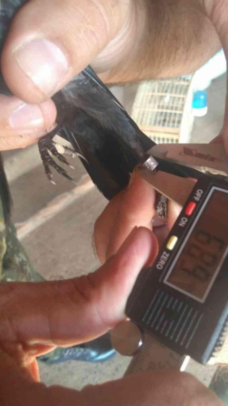 Polícia Militar Ambiental multa criador de pássaros em Botucatu, SP