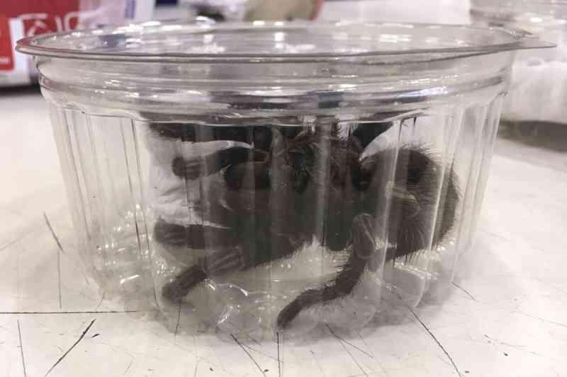 Ibama apreende 80 animais silvestres em SP após identificar importação ilegal de aranhas
